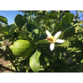 Limoni Siciliani e le sue proprietà
